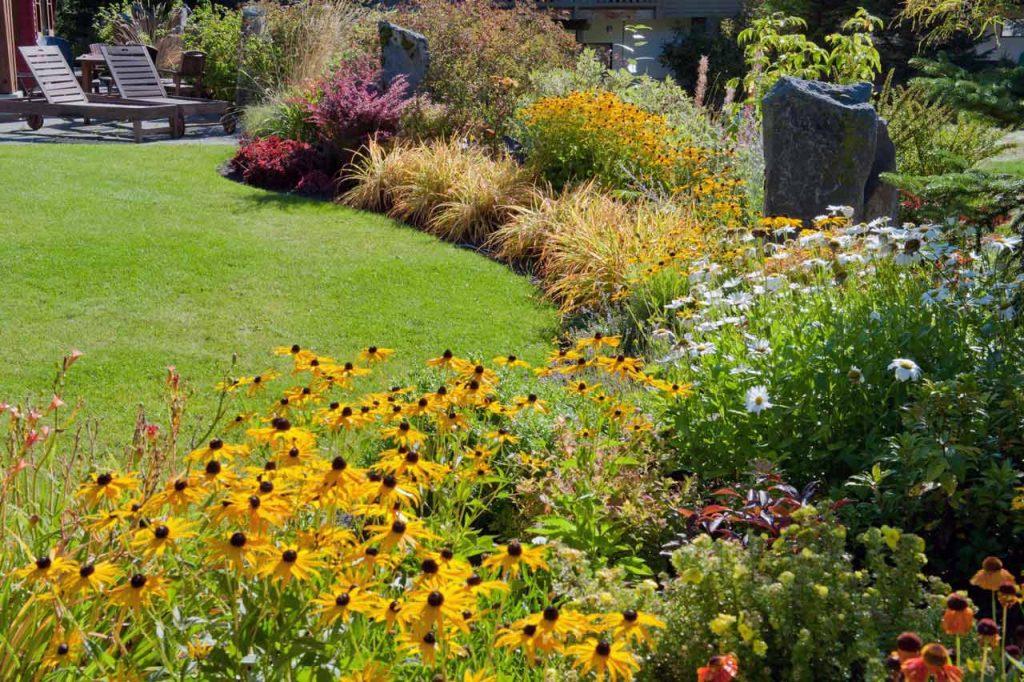 Backyard garden, rudbeckia