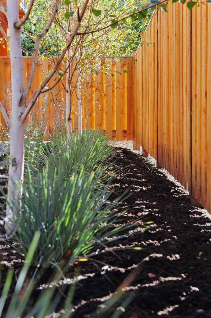 Cedar fence and row of Birch trees